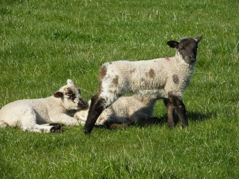 Lambs at Broadgate Farm