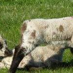 Lambs at Broadgate Farm