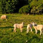 Our lovely lambs