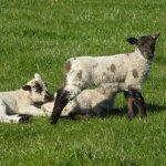 Triplet lambs in a field